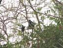 Deux singes magistrats…haut perchés