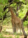 Il y a bien 2 girafes !