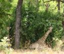Voyez-vous 3 girafes ?